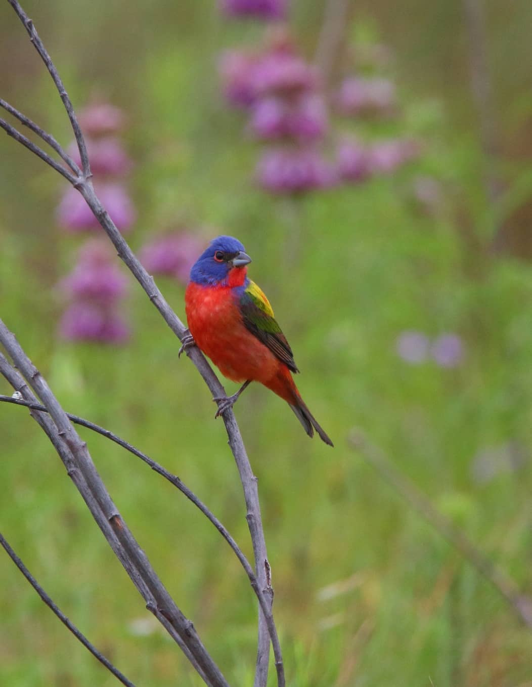 2021 6 Painted Bunting2
