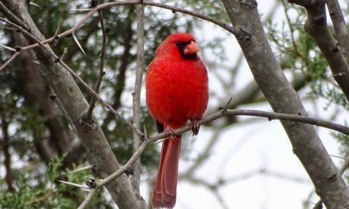 2020 3 Male Northern Cardinal