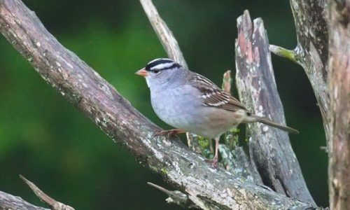 2021 5 White crowned sparrow