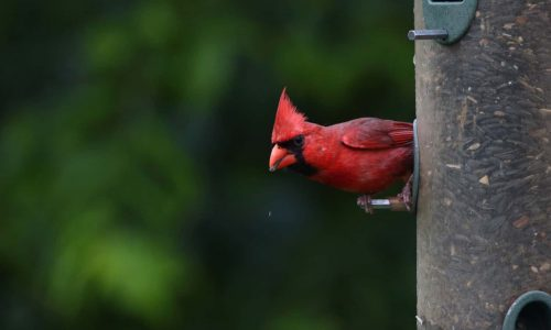 2021 6 Northern Cardinal