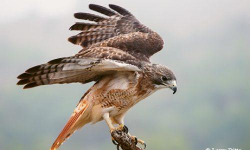 2 Red tailed Hawk 51U8529